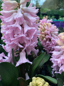 5 x Pink Hyacinth Bulbs (Easy To Grow) Variety (Free UK Postage)