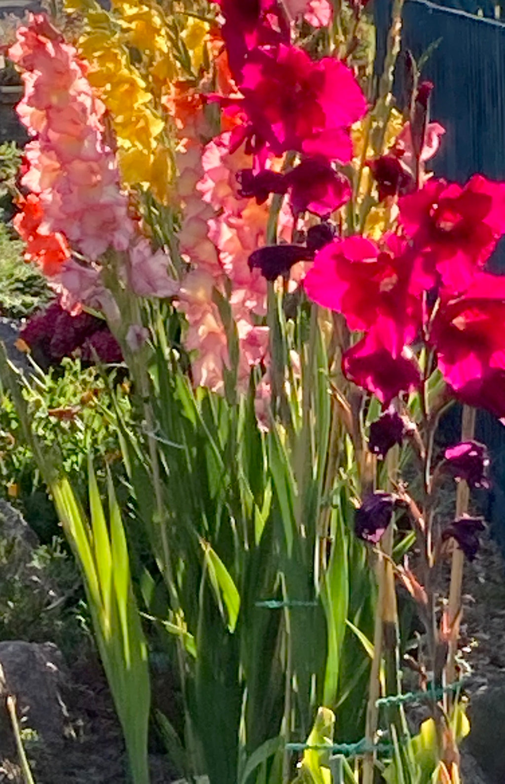 10 x Gladioli Corms Mixed Colours (Free UK Postage)