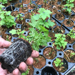 Blackcurrant Plant (Young Transplant/Plug) Ready-To-Plant (Free UK Postage)