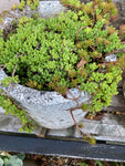 Mixed Varieties of Sedum or Stonecrop (Young Transplants) Free UK Delivery