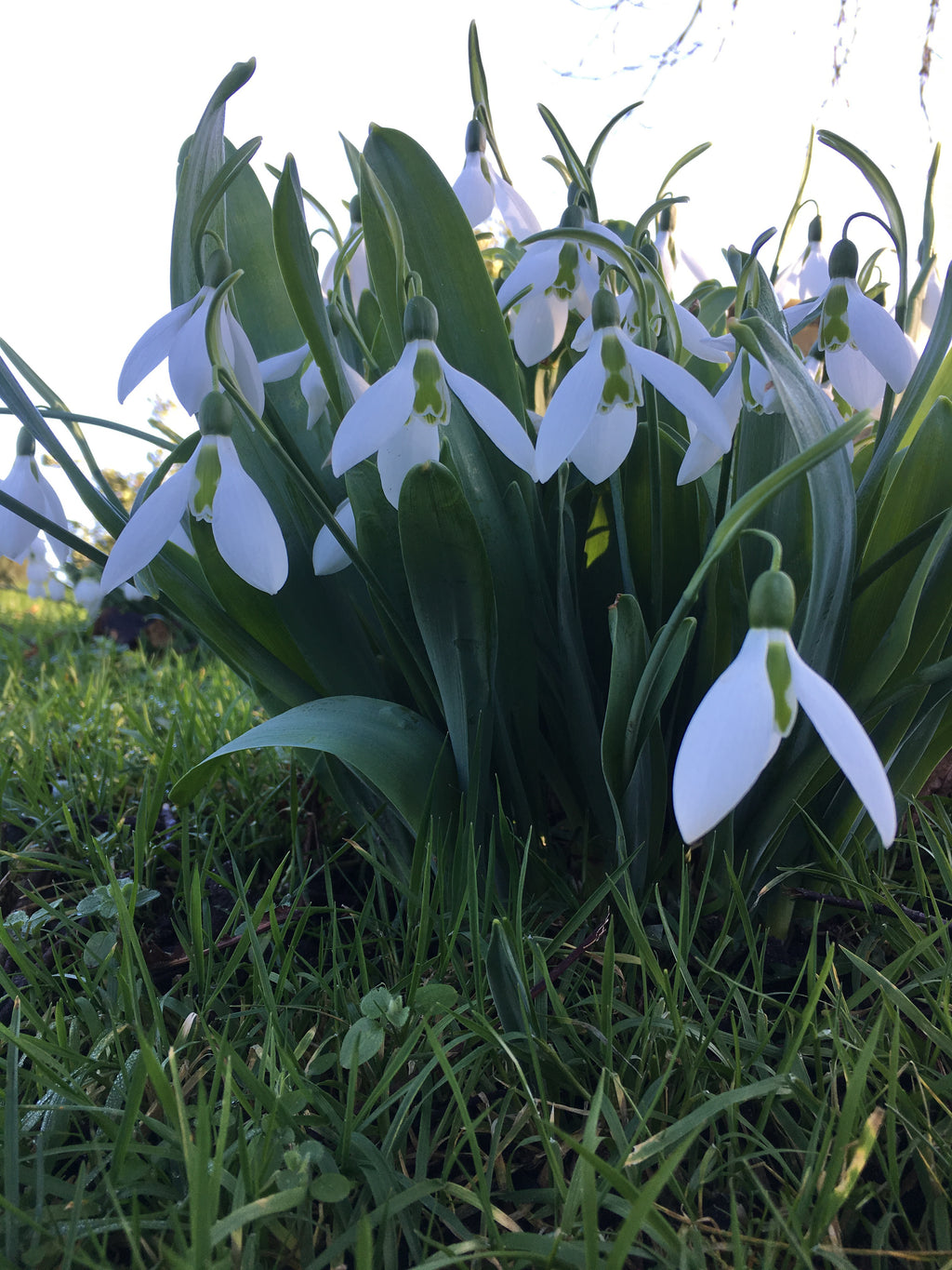 10 x Snowdrop Bulbs - Single Flowering (Free Shipping UK)