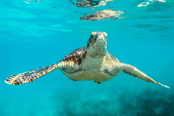 Sea Turtle in blue ocean waters