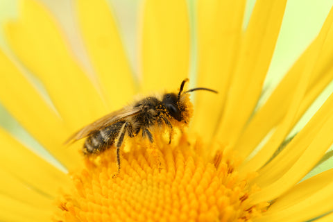 Bee perched on yellow sunflower (Credit: Christoph Polatzky / Unsplash)