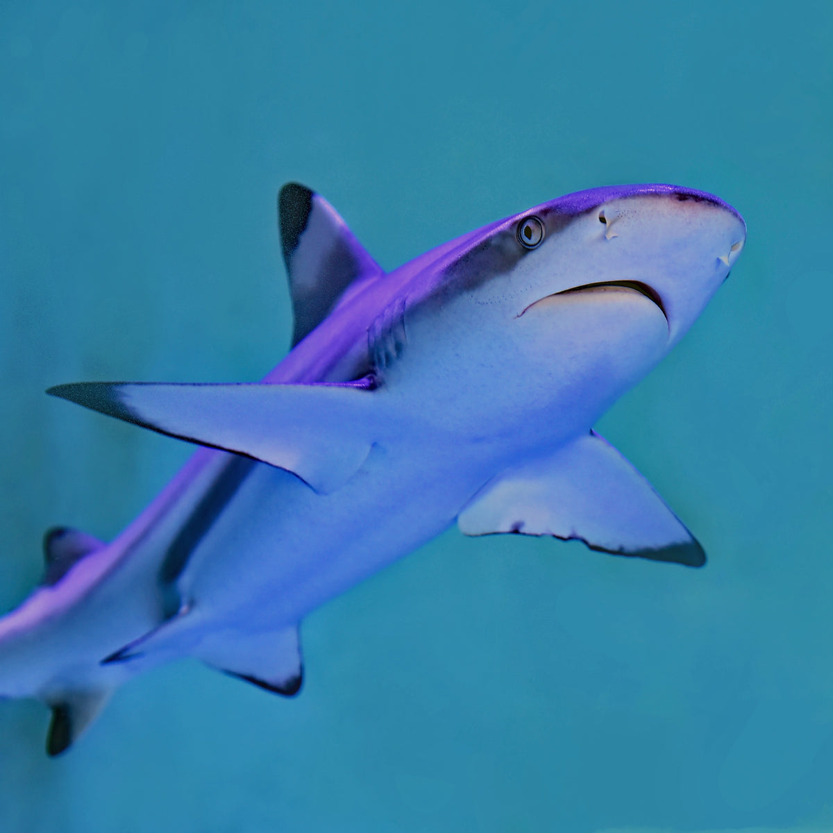 swimming blacktip reef shark - Connected Clothing Company - 10% of profits are donated to Oceana ocean conservation efforts