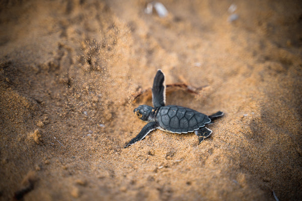 Sea turtle hatchling heading towards the sea in the sand