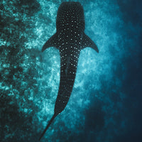 whale shark pictured from above - Connected Clothing Company donates 10% to Mission Blue ocean conservation efforts