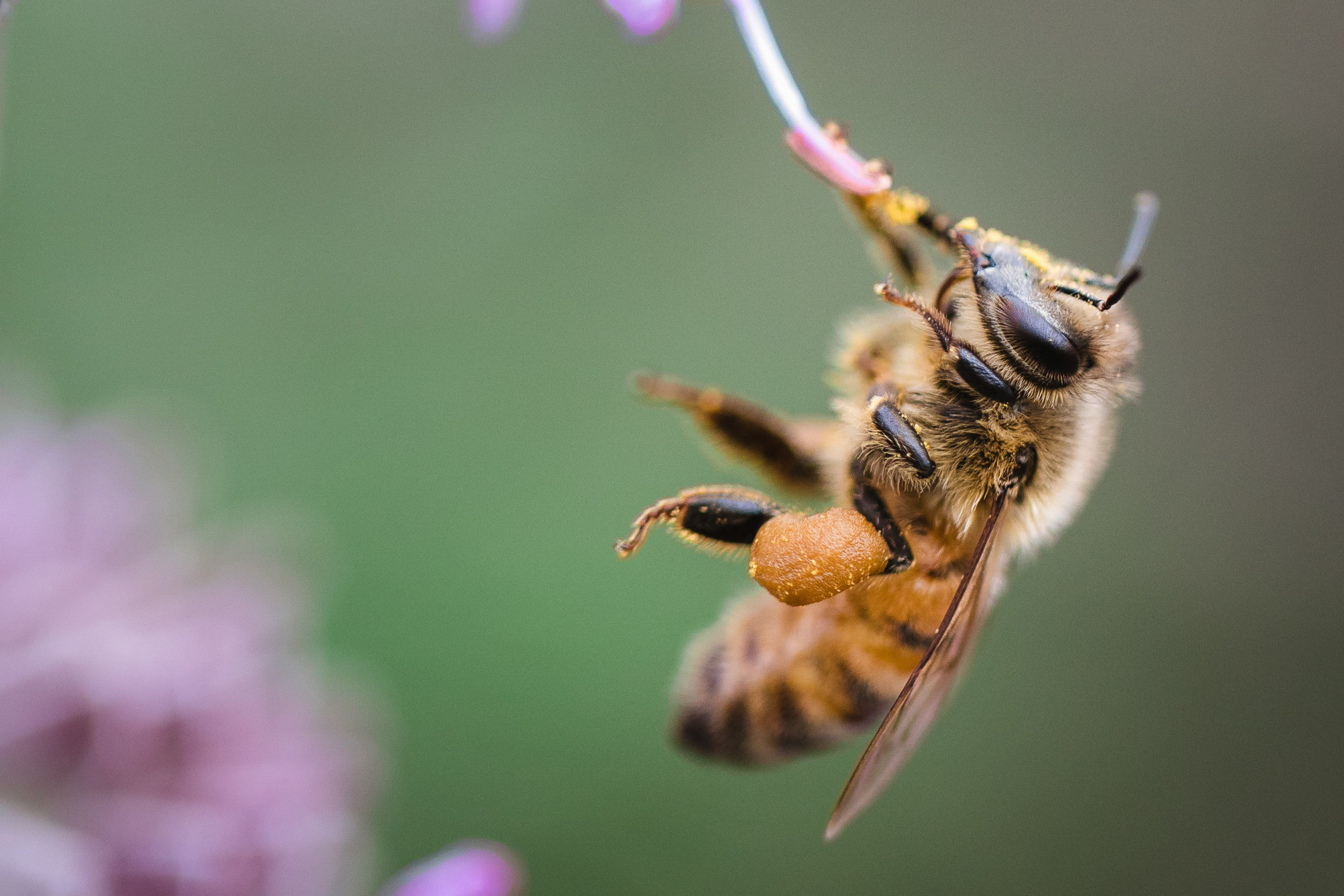 honeybee drinking from a flower bud on green background