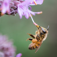 honeybee drinking nectar from a purple flower - Connected Clothing Company donated 10% to The Honeybee Conservancy save the bees efforts