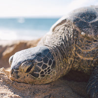 sea turtle resting on a beach in the sunlight - Connected Clothing Company donates 10% to Sea Turtle Conservancy conservation efforts