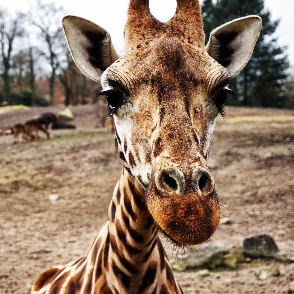 giraffe looking at the camera - Connected Clothing Company donates 10% to Giraffe Conservation Foundation conservation efforts
