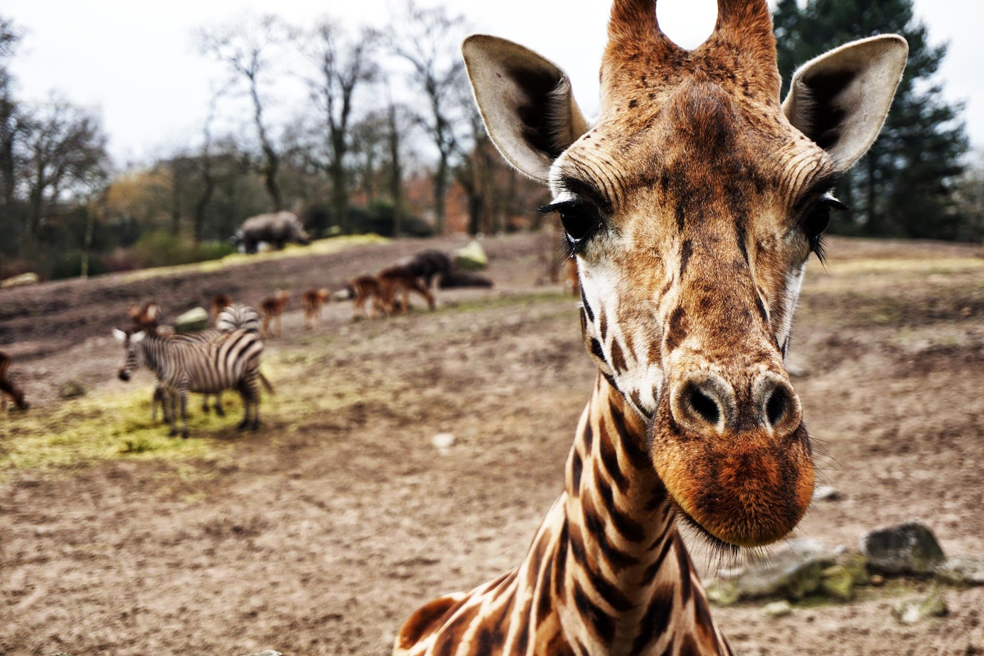 close up of a giraffe face with zebra and rhino in the background