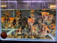 Koi Angelfish M - 3 pack