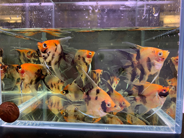 Red Head Koi Angelfish M - 3 pack