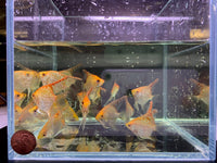Red Head Diamond Angelfish M - 3 pack