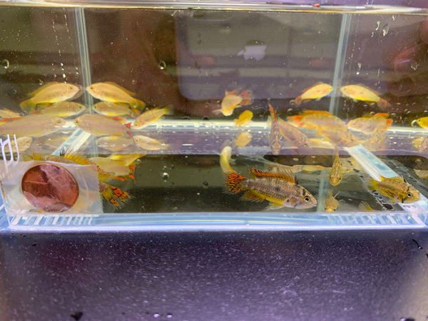Apistogramma Cacatuoides Double Red 2 pack