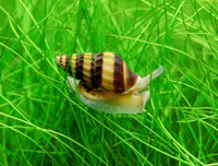 Assassin Snail - 2 pack