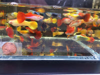 Assorted Guppy Males - 10 pack