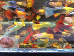 Assorted Guppy male 10 pack
