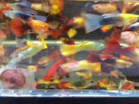 Assorted Male Guppies