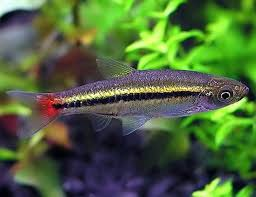 Brilliant Rasbora 10 pack