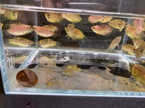 Chocolate Gourami 4 pack