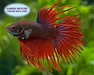 Crowntail Betta Male - 1 pack