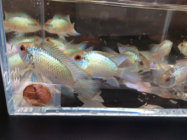 Electric Blue Acara - 2 pack