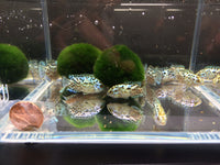Electric Blue Jack Dempsey - 1 pack