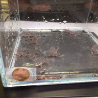African Dwarf Frog 6 pack