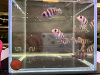 "Frontosa Cichlid (1.5"") - 2 pack"