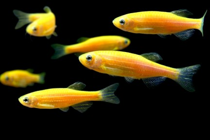 GloFish Orange Danio - 5 pack