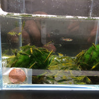 Green Jade Shrimp - 6 pack