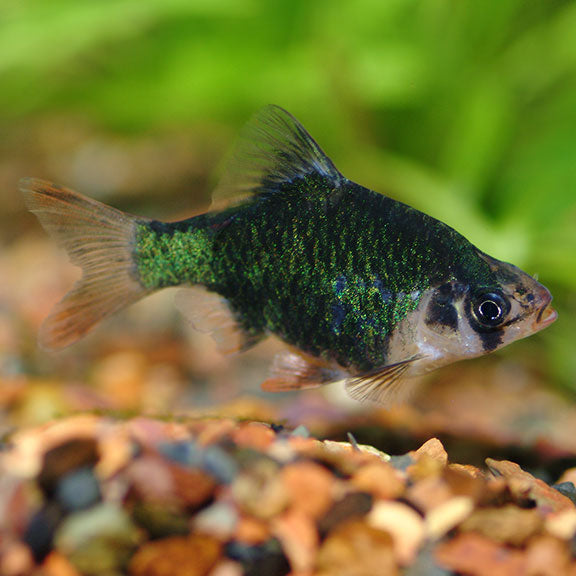 Green Tiger Barb - 8 pack