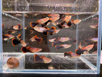 Eclipse Guppy Males - 8 pack