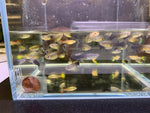 Assorted Female Guppies from Aqua Huna