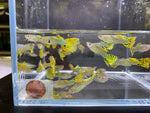 Green Cobra Guppy male 10 pack