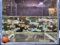 Japanese Blue Tail Guppy Males - 10 pack