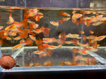 Japanese Red Tail Guppy Males - 10 pack
