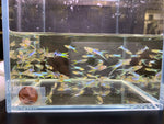 Japanese Lyretail Guppy Males - 10 pack