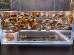 Leopard Tux Guppy male 10 pack
