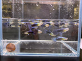 Neon Blue Metallic Guppy Males - 10 pack