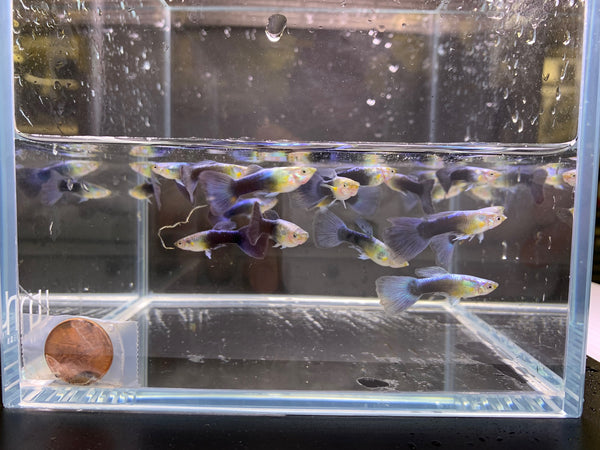 Neon Blue Metallic Guppy male 10 pack