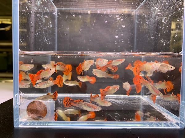 Red Cobra Guppy Males - 10 pack