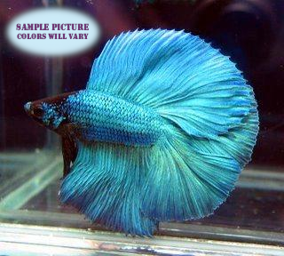 Half Moon Betta Male - 1 pack