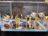 Koi Angelfish 3 pack