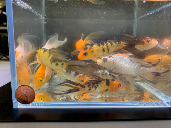 Butterfly Koi (3') -  6 pack