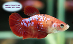 Koi Betta Female - 1 pack