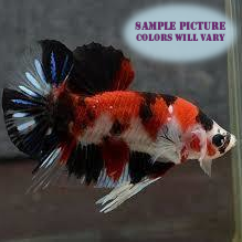 Koi Betta Male - 1 pack