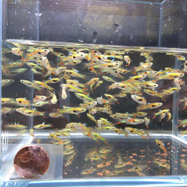 Lime Green Endler male 10 pack