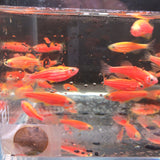GloFish Red Danio - 5 pack